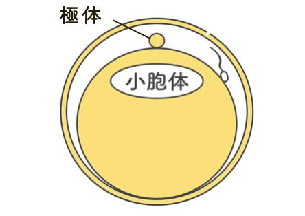oocyte_activation_2